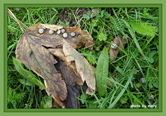 SNAILS (maryimackins) Tags: snails baby leaves autumn wildlife sussex mary mackins