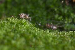 Spider on the grass (bobol68) Tags: nikon d7200 spider nature aracnide darktable