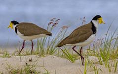 pair of masked lapwings (Fat Burns ☮) Tags: maskedlapwing vanellusmiles bird australianbird fauna australianfauna kakadureserve banksiabeach bribieisland queensland australia nikond500 nikon20005000mmf56vr nature australiannature outdoors