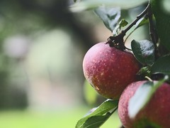 Garden Apple Bokeh | 21. Oktober 2019 | Tarbek - Schleswig-Holstein - Deutschland