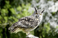 Hector (Elaine 55.) Tags: long eared owl nationalbotanicalgardensofwales birdsofprey