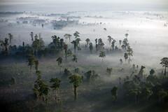 fo18_7814_6119.jpg (IIHA_Fordham) Tags: aceh animalbehavior animals astraagrolestari biofuels carboncaps climatechange conservation deforestation ecosystems ecotourism endangeredspecies environment forests globalwarming greatapes gunungleusernationalpark indonesia jardinematheson jungle kallistaalam logging orangutan palmoil primates sumatra swamps tripa