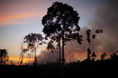 pilot17_6858_689.jpg (IIHA_Fordham) Tags: aceh animalbehavior animals astraagrolestari biofuels carboncaps climatechange conservation deforestation ecosystems ecotourism endangeredspecies environment forests globalwarming greatapes gunungleusernationalpark indonesia jardinematheson jungle kallistaalam logging orangutan palmoil primates sumatra swamps naganraya