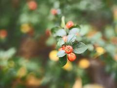 Fruit Garden Bokeh | 21. Oktober 2019 | Tarbek - Schleswig-Holstein - Deutschland