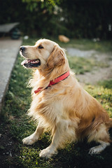 Beautiful golden retriever dog in the park. (shixart1985) Tags: active animal breed canine cute dog domestic dress emotion energy enjoy field fluffy golden grass happy home nature outside park pedigree pet play portrait power puppy retriever sand summer sunlight yellot