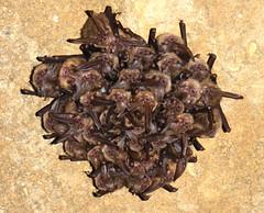 Ozark Big-eared Bat Winter Colony (U.S. Fish and Wildlife Service - Midwest Region) Tags: oklahoma ok ozarkplateau nationalwildliferefuge nwr refuge bat animal nature wildlife endangered endangeredspecies ozarkbigearedbat