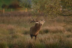 red deer stag (simonrowlands) Tags: reddeer stag cervuselaphus canon7dmk2canon800mm