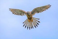 Windhover - Male kestrel hovering (Iand49) Tags: kestrel male bird feather falcon windhover birdofprey predator raptor carnivore hunter flying inflight airborne hovering chestnutnreast greyhead fannedtail hookedbeak talons countryside bluesky concentration watching sleek streamlined nature wildlife beautifulbird lovelyfalcon fauna naturalhistory avian falconry outdoors ornithology