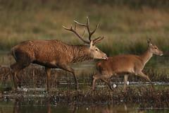 red deer stag and hind (simonrowlands) Tags: reddeer stag redeerhind cervuselaphus
