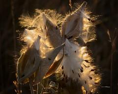Milkweed (wfgphoto) Tags: milkweed sunshine seeds pods fly