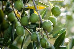 Viaje con amigos a Malcocinado (loren_garcia_lopez) Tags: olivares en malcocinado primeros septiembre 2019