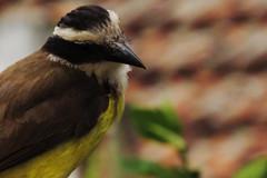 bem-te-vi (lalladalla) Tags: birds nature natureza brasil brazil aves pássaros latinamerica