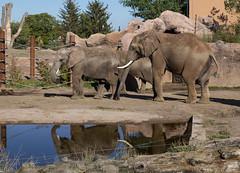 Zoo Magdeburg (Helmut44) Tags: deutschland germany sachsenanhalt magdeburg magdeburgerzoo zoo elefant tierwelt animal tier wasser
