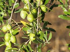 Viaje con amigos a Malcocinado (loren_garcia_lopez) Tags: olivares en malcocinado aceitunas