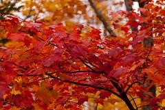 Autumn Leaves (nikons4me) Tags: autumn nikonafsdx18200mmf3556gifedvr nikond200 wisconsin wi fallcolor leaves