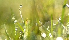 sunny morning dewscape (conall..) Tags: extreme extremebokeh grass dew drops abstract nikon afs nikkor f18g lens 50mm prime primelens nikonafsnikkorf18g closeup raynox dcr250 macro county down tullynacree nw551041 annacloy field northernireland pasture morning backlit backlight intothelight sun sunny drop droplets gota gotas desenfoque outoffocus narrow dof selective focus