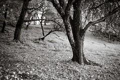 Appletree garden (Geir Bakken) Tags: rolleiretro80 rollei appletree tree garden woods landscape blackandwhite bw analog analogphotography analogue fomadonp film filmisnotdead filmphotography filmcamera vintagecamera yashica yashicaministeriii 135film perfectbeauty