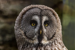 Great Grey (jonathan.scaife81) Tags: great grey owl north bird prey eye orange camperdown wildlife centre zoo dundee park tayside scotland canon 650d sigma 150500 close up face