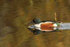 shoveler (simonrowlands) Tags: shoveler duck marshes reedbeds canon7dmk2canon800mm lakes