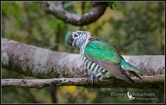 pīpīwharauroa or Shining Cuckoo (Boney Whitefoot Photograhy) Tags: purple pīpīwharauroa or shining cuckoo