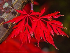 Red October (L@nce (ランス)) Tags: red leaf leaves foilage autumn fall macro jamesbay canada nikon victoria britishcolumbia