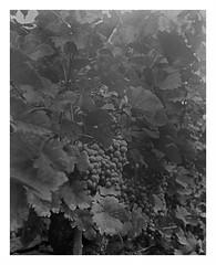 Weingarten (ravelliphotos) Tags: blackandwhite bw paper large negative sw format ica fomaspeed