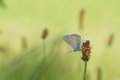 Rêverie... (passionpapillon) Tags: macro papillon butterfly nature insecte herbe bokeh passionpapillon 2019 ngc npc