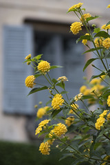 Les lantanas du palazzio * (Titole) Tags: lantana yellow isolamadre window shutter titole nicolefaton