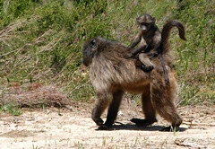 Baboon Baby Riding Jockey Style (DeniseKImages) Tags: wildlife africa baboon baboonbaby grass southafrica nature wild animal animals wildanimals wildanimal