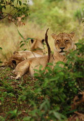 Lionesses Resting After a Good Meal (DeniseKImages) Tags: wildlife africa bigcat cat lion lions lioness grass bush africanbush southafrica nature wild animal animals wildanimals wildanimal bigfive