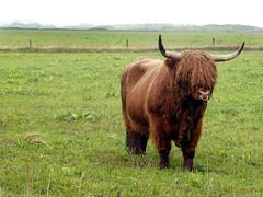Scottish Highland bull (cats_in_blue) Tags: bull cattle scottishhighlandcattle sønderho sønderhogårdbutik fanø