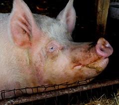 He Agrees With Winston (brendakirkley) Tags: ngysa animal pig farm smile