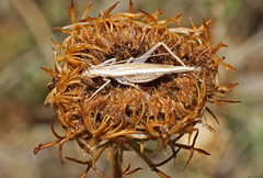 Italian Tree Cricket (Oecanthus pellucens) female (timz501) Tags: italiantreecricket oecanthuspellucens jersey