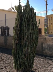 IMG_2917 (rugby#9) Tags: cactus cacti loscristianos canaries tenerife canaryislands plant apartment apartments