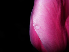 A Single Tear (kfocean01) Tags: pink spring color nature macro flower flowers abstract lovelyflickr water raindrop