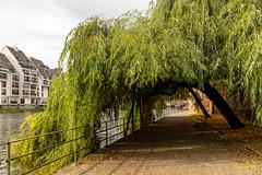 Weiden an der Ill in Straßburg (lt_paris) Tags: urlaubimschwarzwald2019 strasburg strasbourg ill flus gewässer weide trauerweide baum