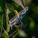 Dragonfly Hanky-Panky