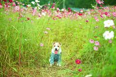 In the Field of Flowers (moaan) Tags: tamba hyogo japan jp dog jackrussellterrier kinoko fieldofflowers cosmosflower october dof bokeh bokehphotography utata 2019