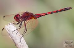 Trithemis arteriosa ( BlezSP) Tags: canaryislands canary canarias dragonflies libélulas odonata insecta anisoptera zygoptera