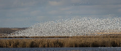 A few Snow Geese (Turk Images) Tags: chencaerulescens lessersnowgeese arcticnesting fall migrationstaging alberta anatidae lsng waterfowl prairie