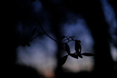 Dancing in the fading light (Daymon55) Tags: outdoors evening dusk trees leaves blue sky shadows silouette fujifilm