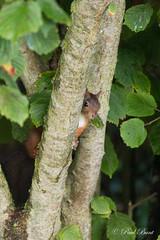 Eekhoorn op de uitkijk (paulbunt60) Tags: eekhoorn lookout nature natuur knaagdier treesquirrel mammal