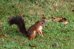 Eekhoorn verzameld eikels (paulbunt60) Tags: eekhoorn nature natuur knaagdier treesquirrel mammal