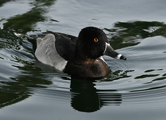 Ring-necked Duck, Aythya collaris (Dave Beaudette) Tags: birds reidpark tucson pimacounty arizona ringneckedduck aythyacollaris