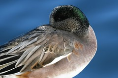 American Wigeon, Anas americana (Dave Beaudette) Tags: birds americanwigeon anasamericana reidpark tucson pimacounty arizona