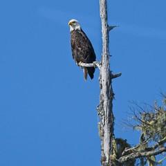 20190826Z7_3731 (cisco42) Tags: bc baldeagle britishcolumbia canada creek bird birdofprey predator rapter haliaeetusleucocephalus
