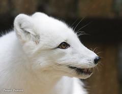 234A2174.jpg (Mark Dumont) Tags: arctic teagan zoo fox dumont mammal cincinnati