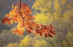 Fall Colors  on a Maple (mahar15) Tags: autumnfoliage autumncolor october fallcolors foliage nature fallleaves outdoors mapleleaves fall autumn leaves