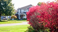 Red! (caribb) Tags: ottawa ontario canada urban city 2019 stittsville suburbs house home suburb abstract fall autumn color colour colorful colourful pretty nature garden sunny bright leaves fallleaves redleaves bush