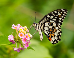 Butterfly (LuckyMeyer) Tags: schmetterling makro white black garden butterfly insect